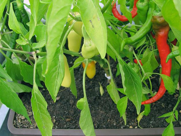 Выращивание стручкового перца на огородном участке