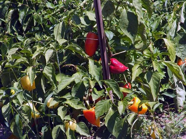 Как нужно выращивать перец на огородном участке