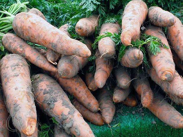 Коренеплоди моркви