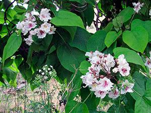 Выращивание катальпы в саду