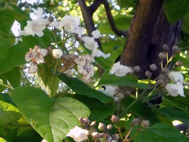 Вирощування катальпи в саду