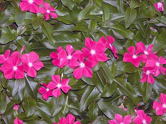 Цветение катарантуса в саду
