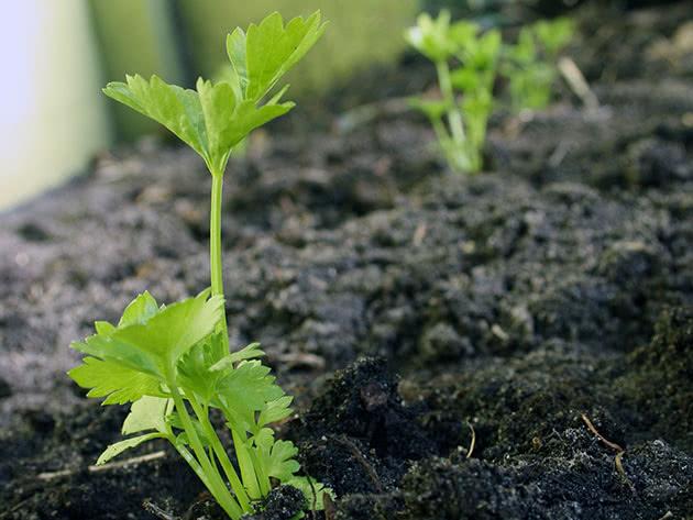 Выращивание сельдерея из семян рассадным способом