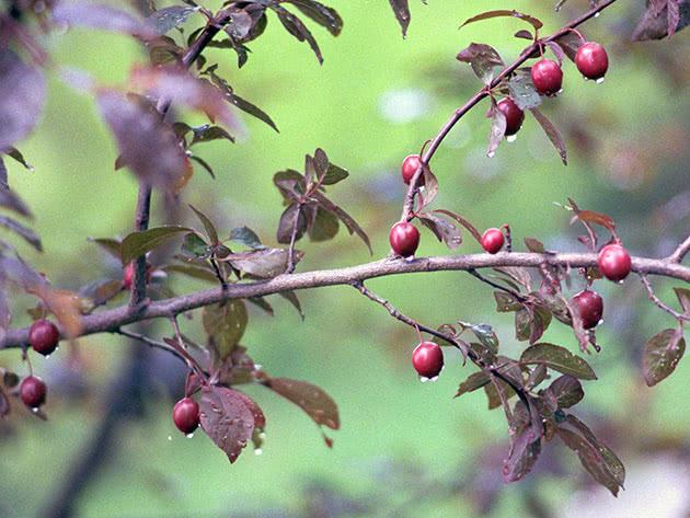 Плоды алычи на ветке дерева