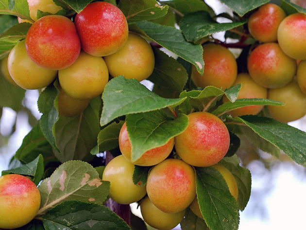 Спелые плоды алычи