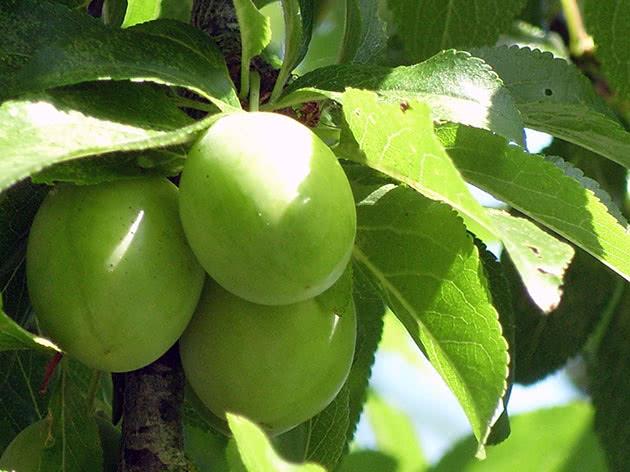 Зеленая алыча на дереве