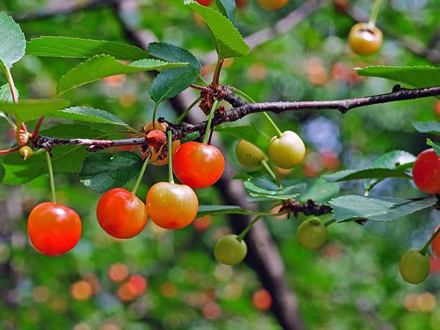 Недоспелая вишня на дереве
