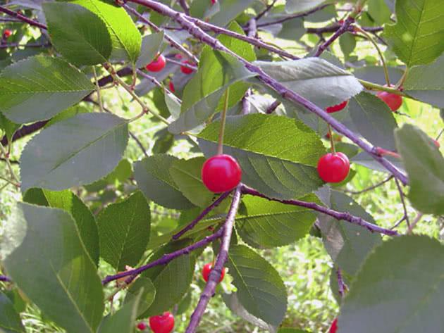 Посадка вишневих дерев на садовій ділянці