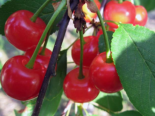 Богатый урожай вишни
