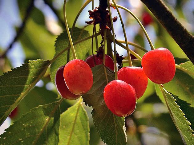 Вишні достигають на дереві в саду