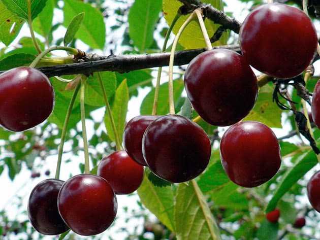 Спелые вишни на дереве