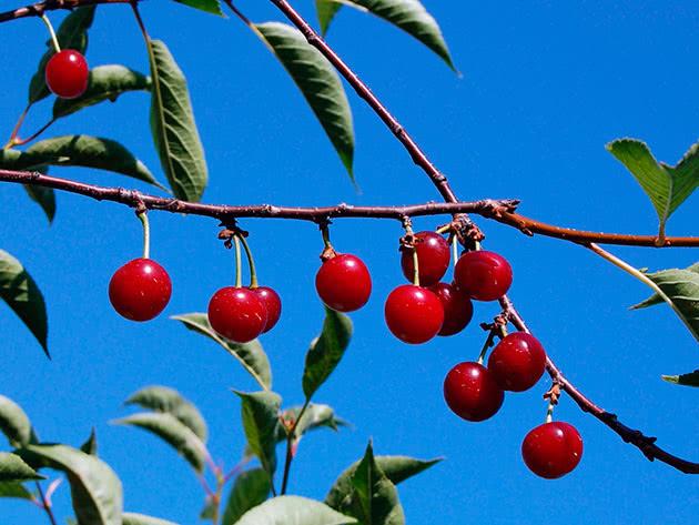 Уход за вишнями в саду