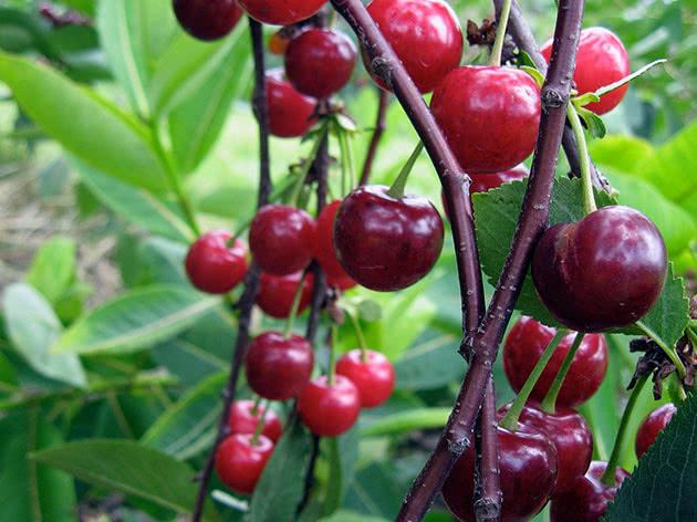Сочные вишни на дереве в саду