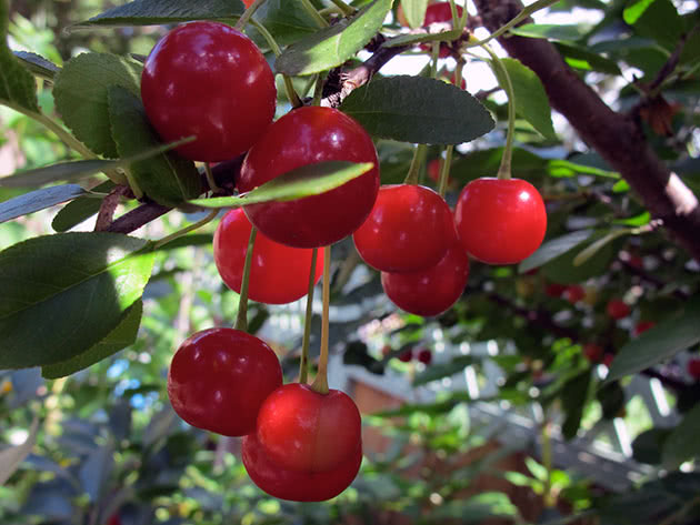 Как ухаживать за вишневыми деревьями в саду
