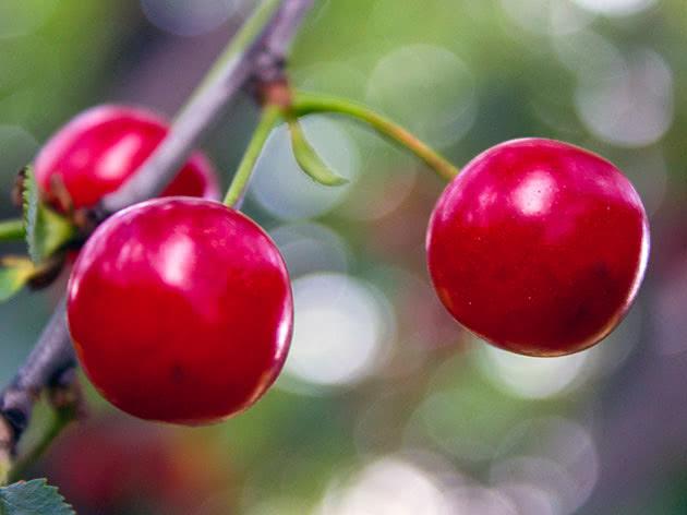 Красная черешня на дереве