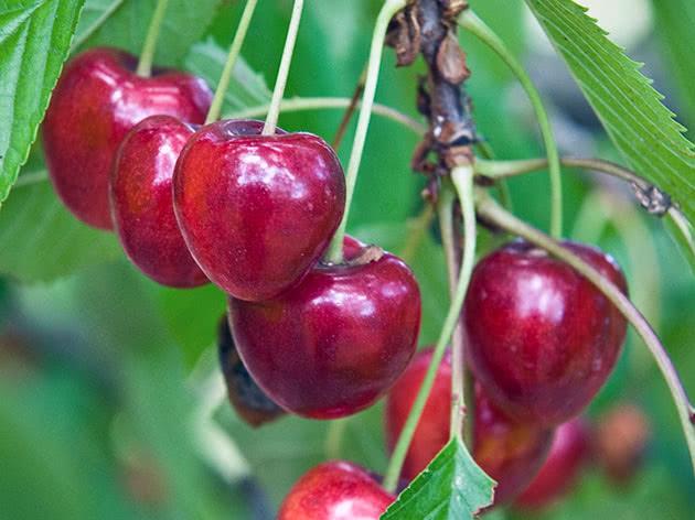 Спелые черешни на дереве
