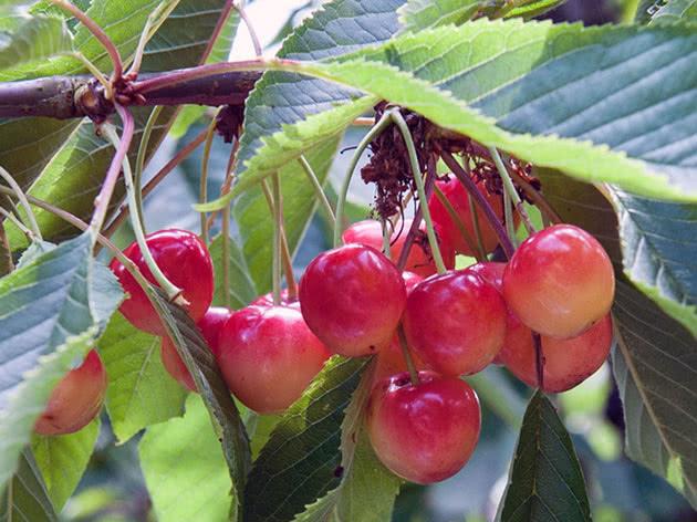 Розовая черешня