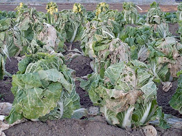 Посадка і догляд за пекінською капустою