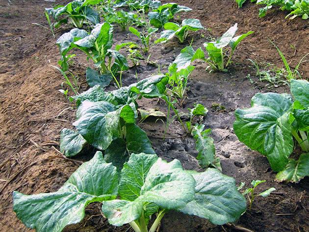Вирощування пекінської капусти у відкритому ґрунті