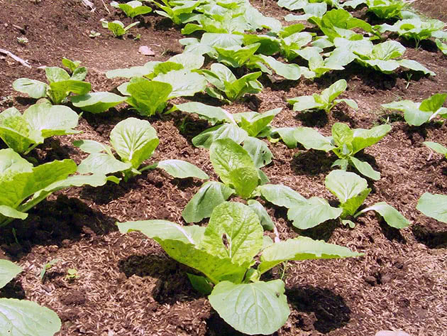 Вирощування пекінської капусти з насіння у відкритому ґрунті