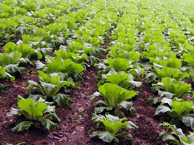 Посадка розсади пекінської капусти в ґрунт