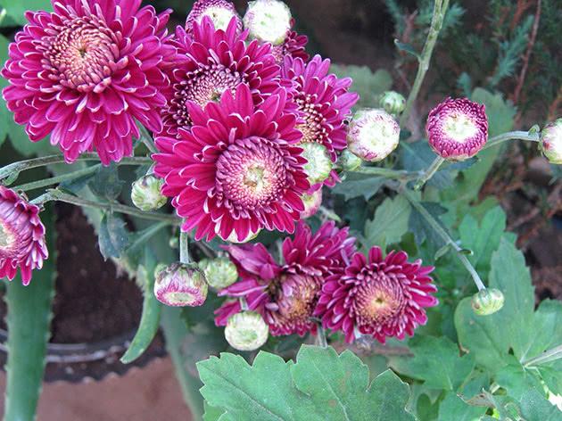 Посадка і догляд за хризантемою в домашніх умовах