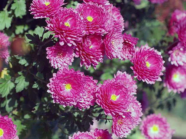 Розмноження хризантем в домашніх умовах