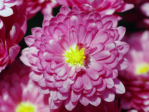 Уход за домашними хризантемами после цветения