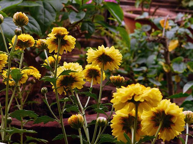 Комнатные хризантемы – правильный уход дома