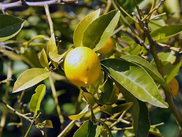 Види цитрусових – лимон