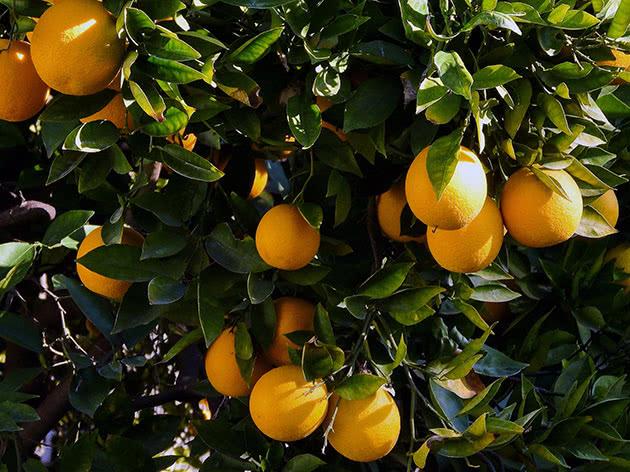 Види цитрусових – апельсин