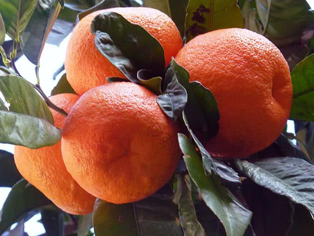 Види цитрусових – мандарин