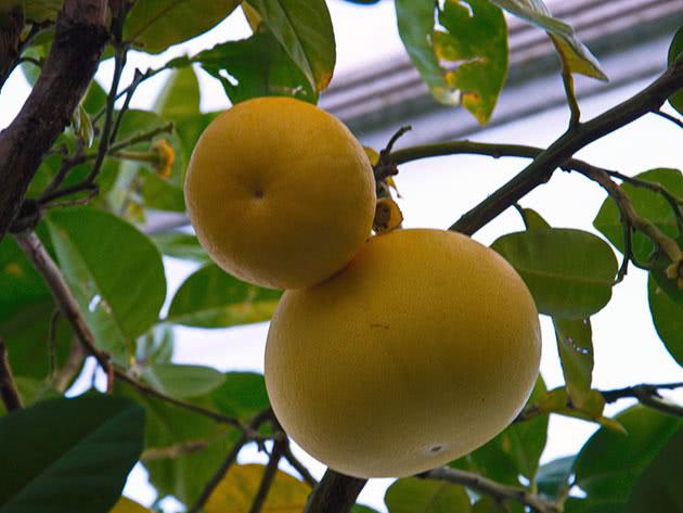 Види цитрусових – грейпфрут