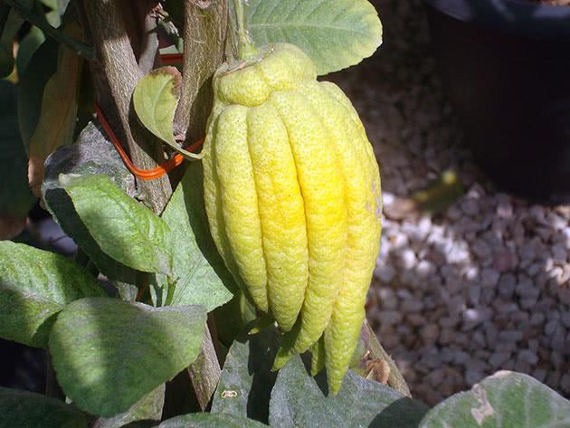 Види цитрусових – цитрон
