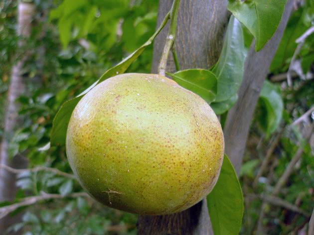 Вирощуємо кімнатний мандарин з кісточки
