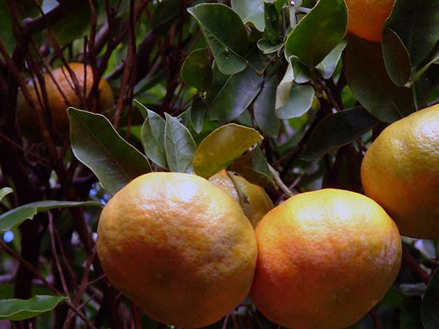 Посадка і догляд за домашнім мандарином