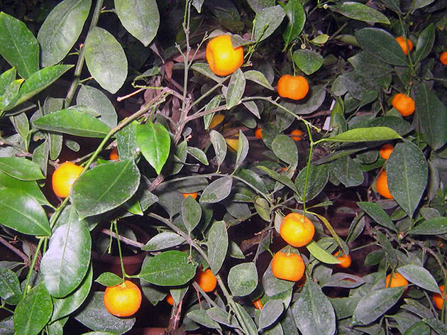 Догляд за мандарином в домашніх умовах