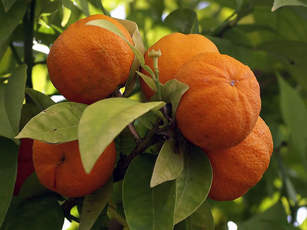 Вред и польза мандарина
