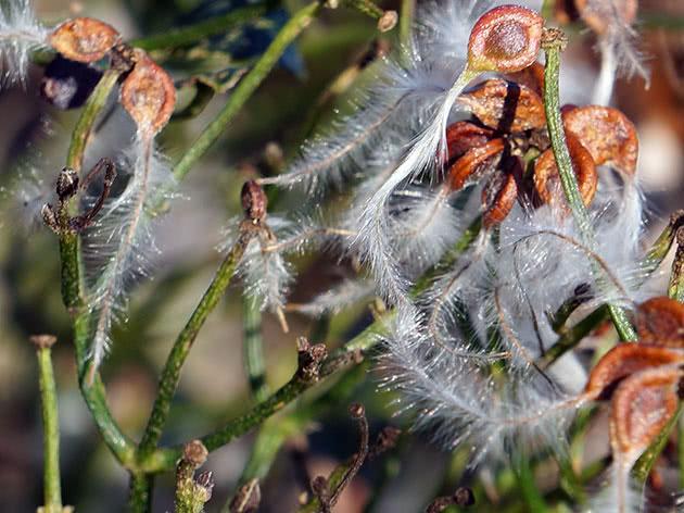 Клематис після цвітіння восени