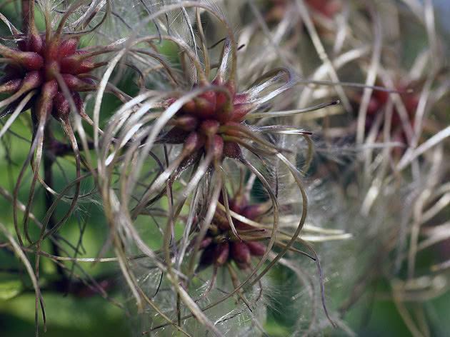 Розмноження клематисів восени