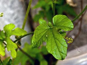 В'юнкі рослини – садові та кімнатні