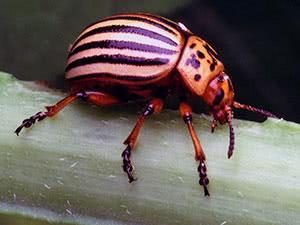 Колорадський жук – як боротися на городі