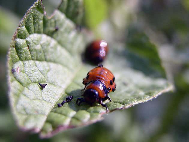 Боротьба з колорадським жуком