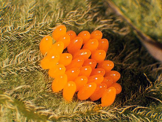 Яйця колорадського жука під листком
