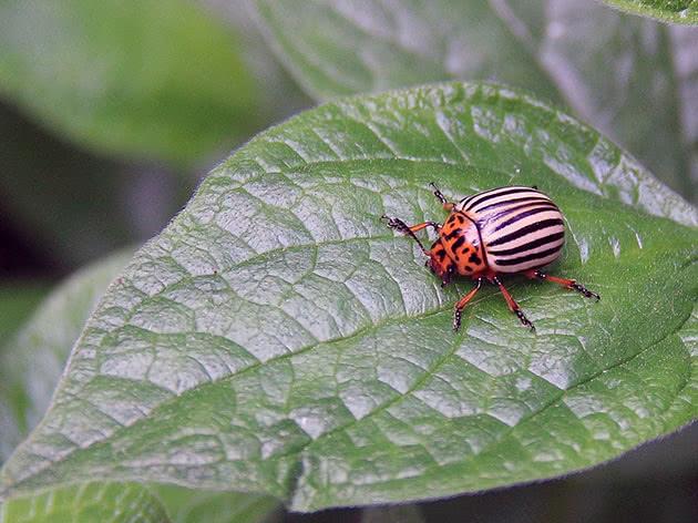 Народні засоби боротьби з колорадським жуком