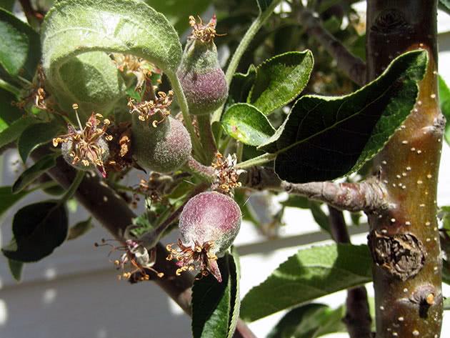 Посадка и уход за колоновидными яблонями