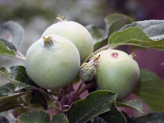 Как сажать и ухаживать за колоновидной яблоней