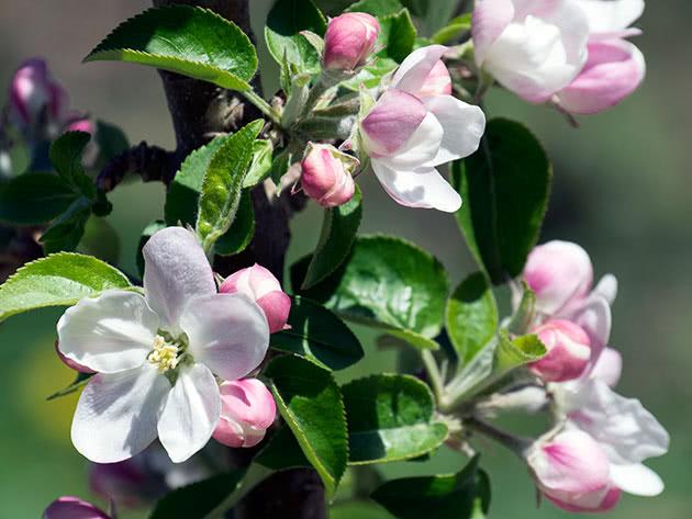 Как цветет колонновидная яблоня