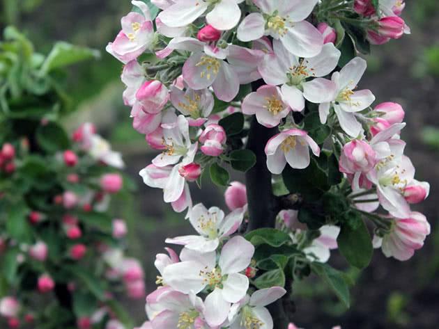 Условия выращивания колоновидных яблонь