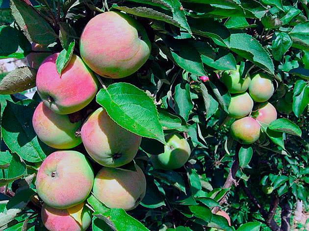 Плоды колоновидных яблонь на дереве